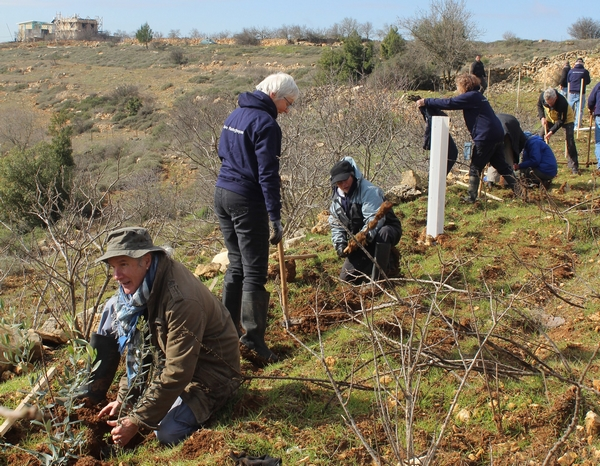 Olive Planting